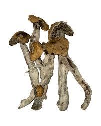 buy Thai Koh Samui magic mushrooms in Canada